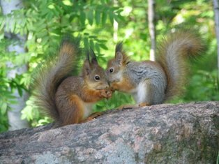 Virolahti_oravat