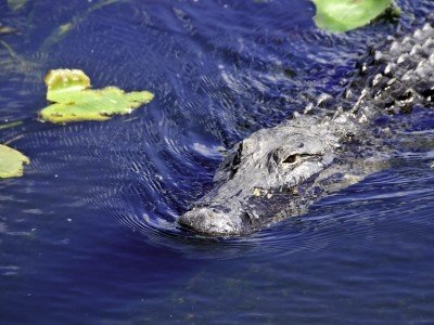 Usa_Florida_american alligator swimming next to lily pads_800x600