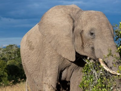 Kenia_Elephant in the bush in savana400x300