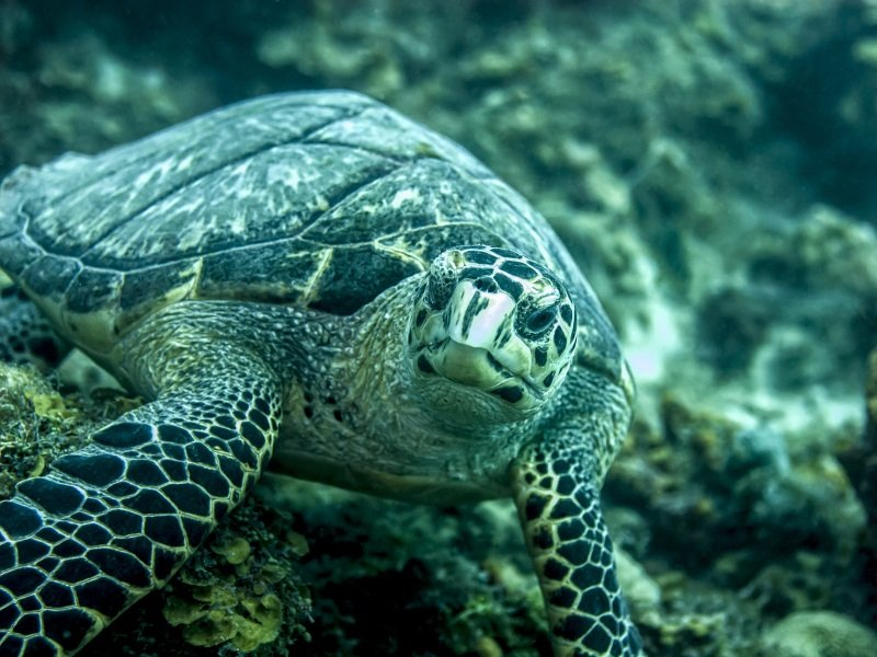 Guadeloupe_Hawksbill turtle eating seaweed_800x600