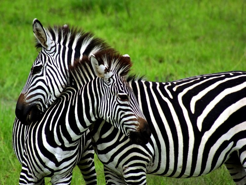 Afrikka_Zebras over green background in Zambia_800x600