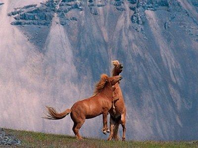 Islanti_Horses_400x300