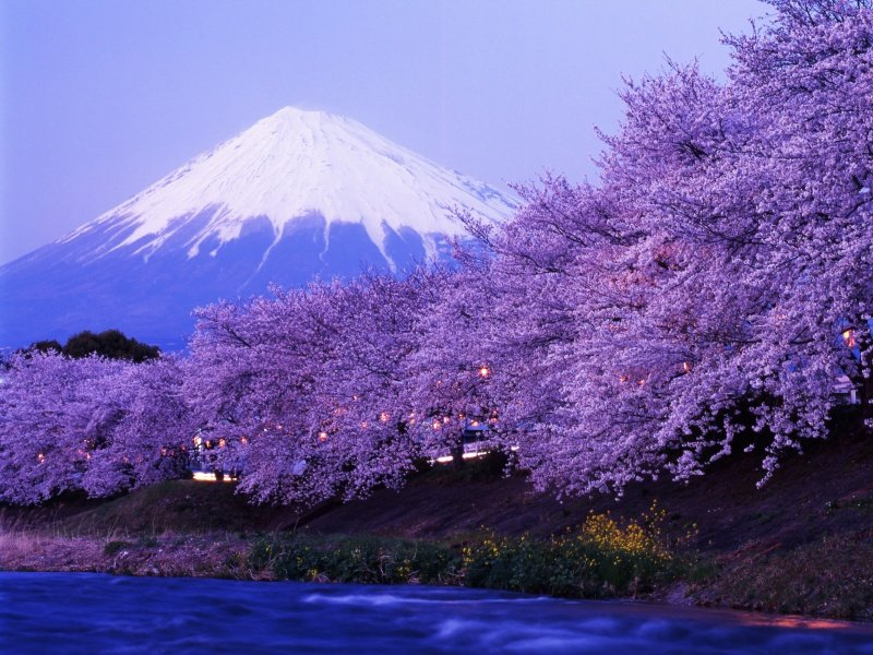 JapanI_Beautiful cherry blossoms with snow-capped Mount Fuji in evening_800x600