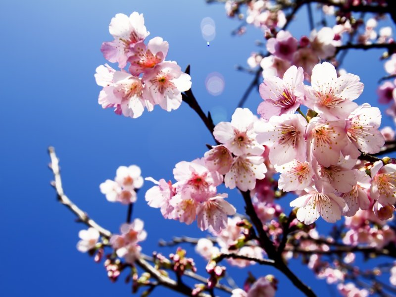 Japani_Cherry blossoms_800x600
