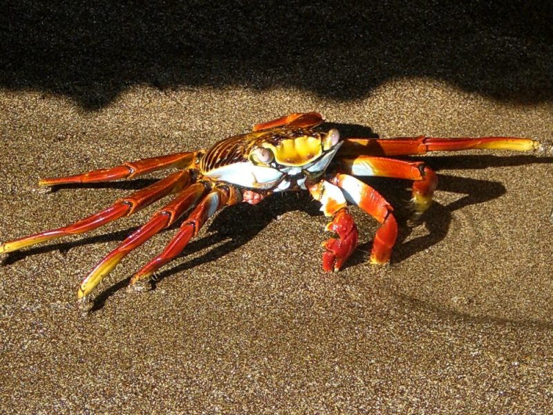 Crab on Galapagos 1000
