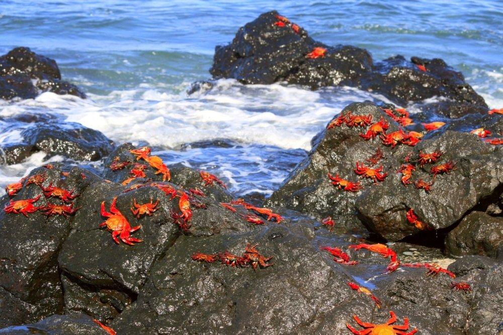 Galapagos Santa Cruz Crabs 1000