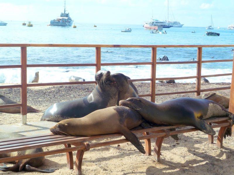 galapagos isabela island sea lions 1000