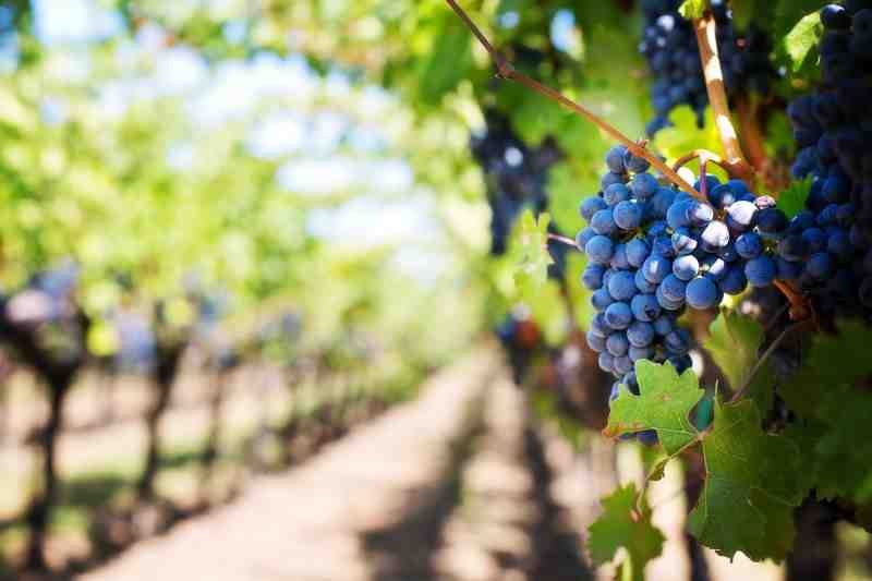 vineyard purple grapes